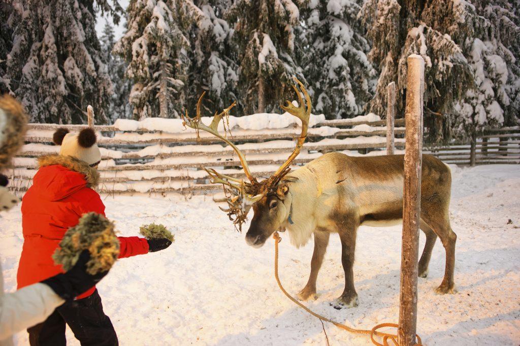 ребенок кормит оленя в Лапландии