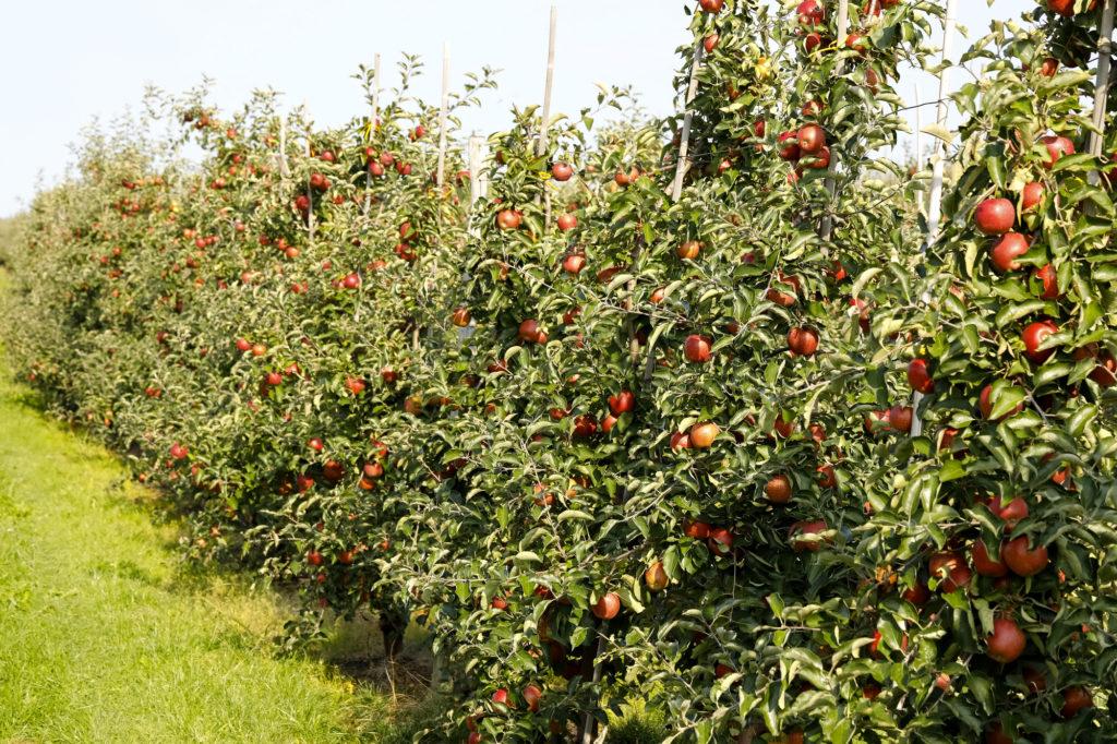 Работа, Польша, яблоки