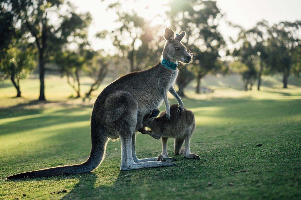 Один из символов Австралии – кенгуру